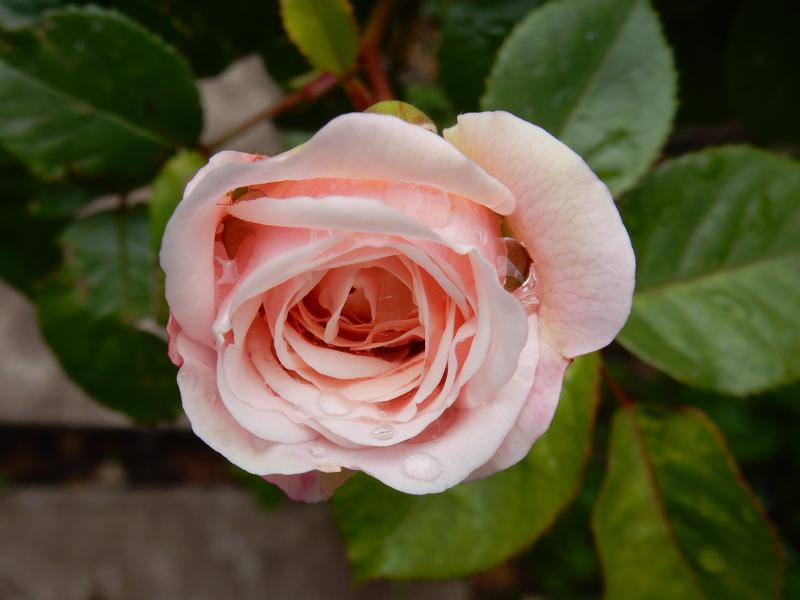 My Dream Part 2 rose in garden DSCN6834