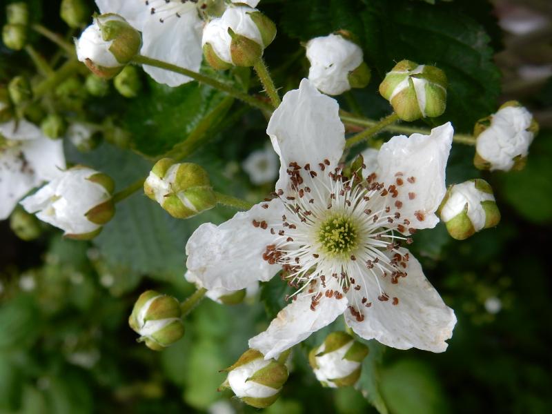 My Dream Part 2 blackberry flower DSCN6827