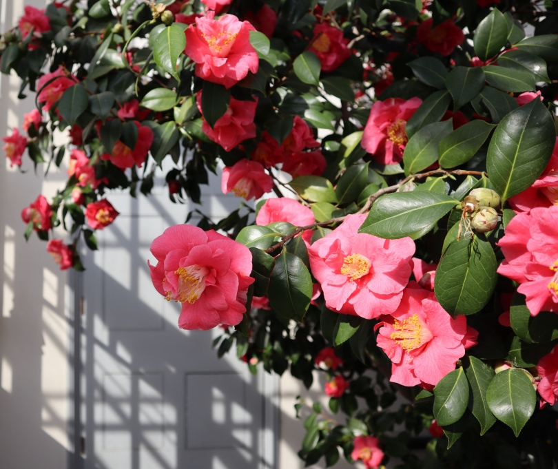 Camellias 5