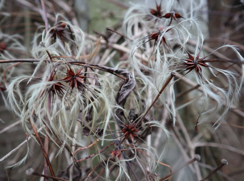 Winter feathery seeds
