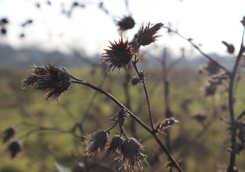 Winter joy seed heads
