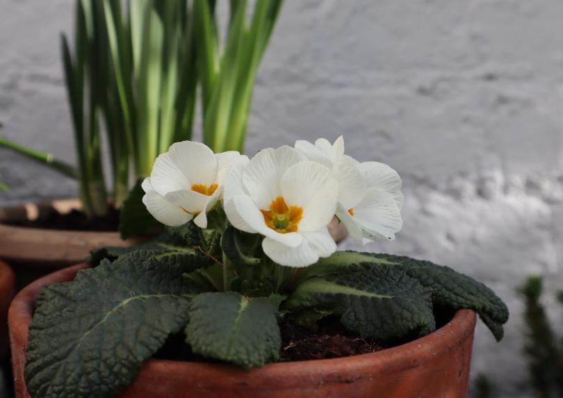 Garden primroses 1