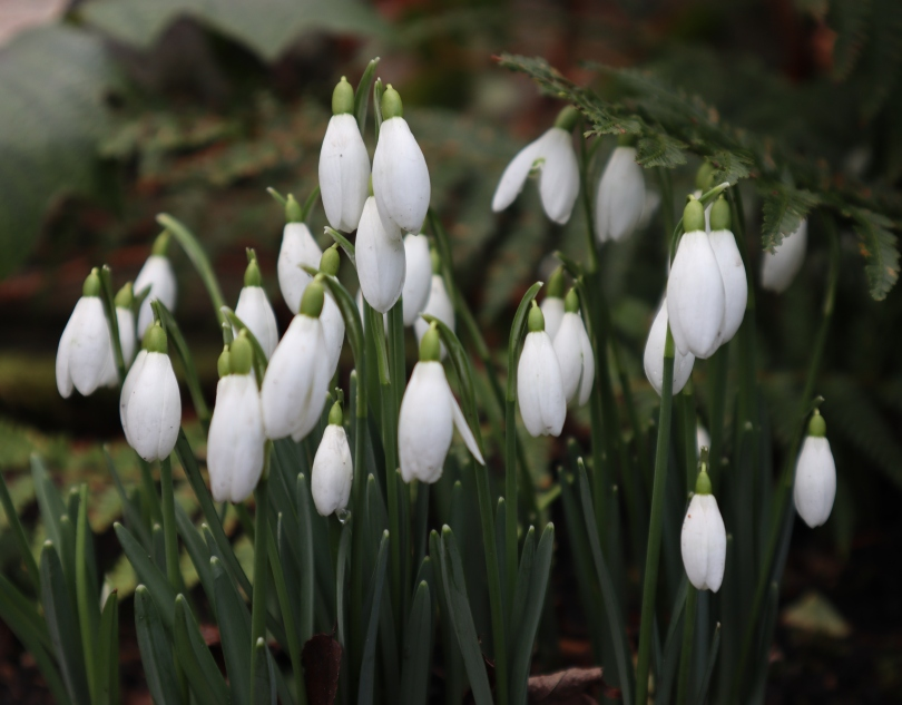 Winter Snowdrops 1