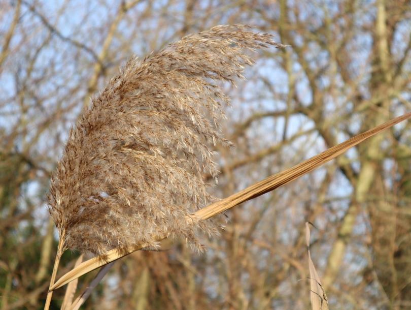 Winter joy reeds