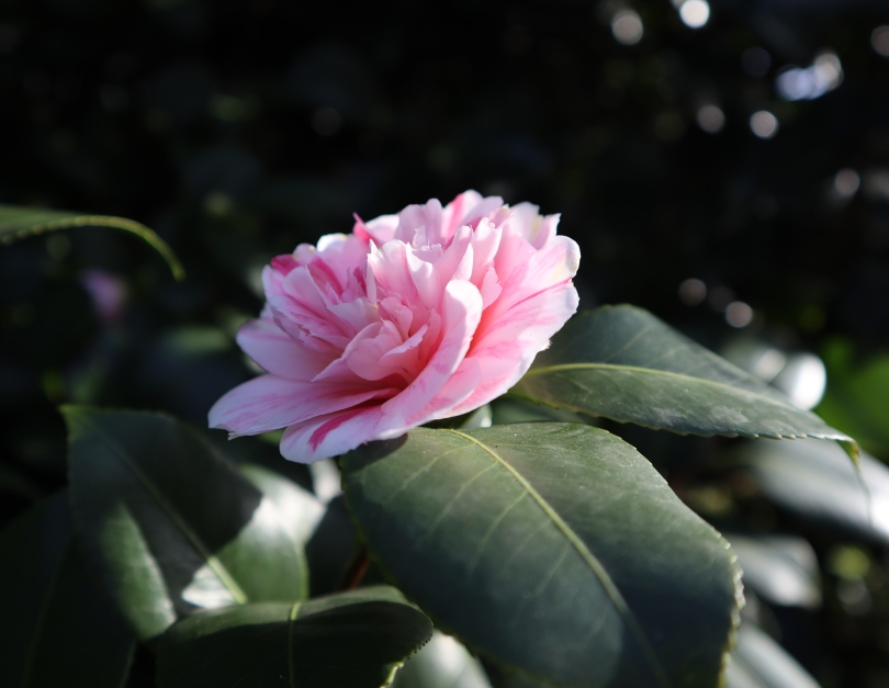 Camellias 3