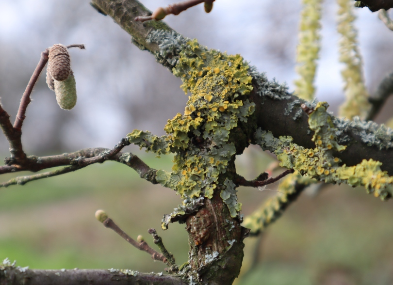 Winter joy catkins and lichen