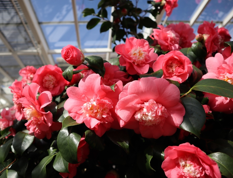 Camellias 8