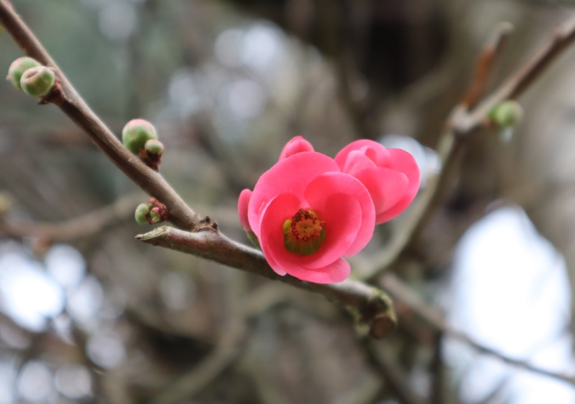 Winter pink flower