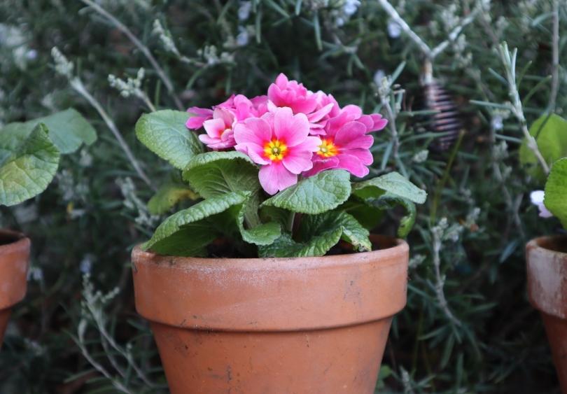 Garden primroses 2