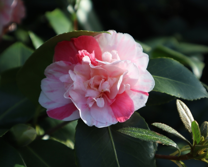 Camellias 2