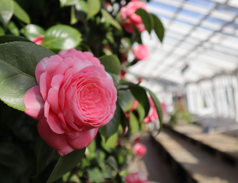 Camellias 9