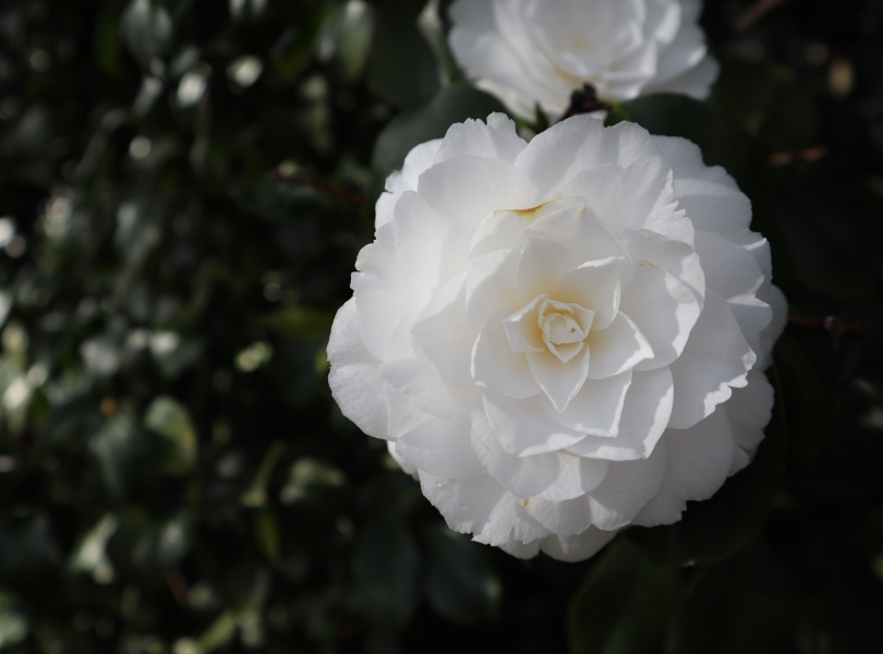 Camellias 10