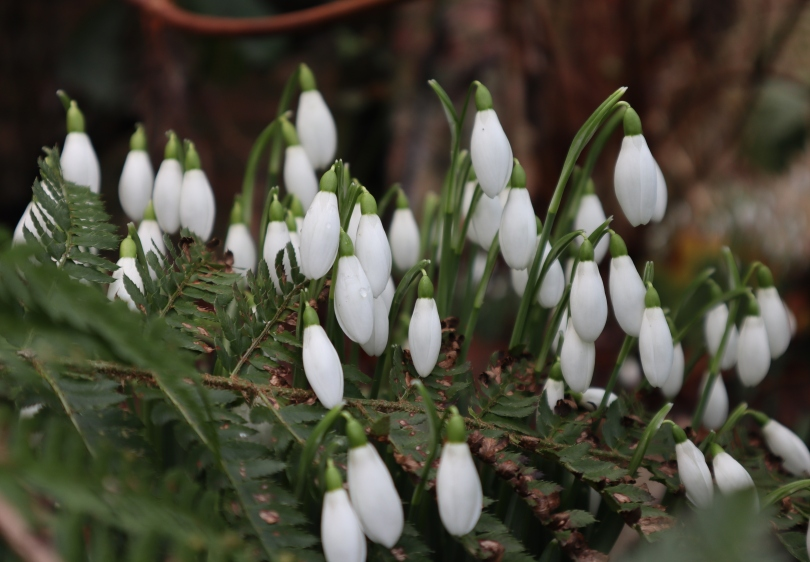 Winter Snowdrops 2