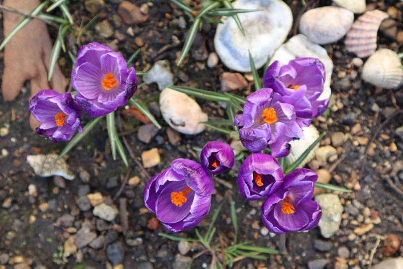 Garden crocuses 1