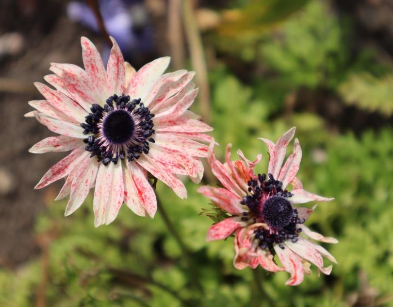 Osterley 11 anemones