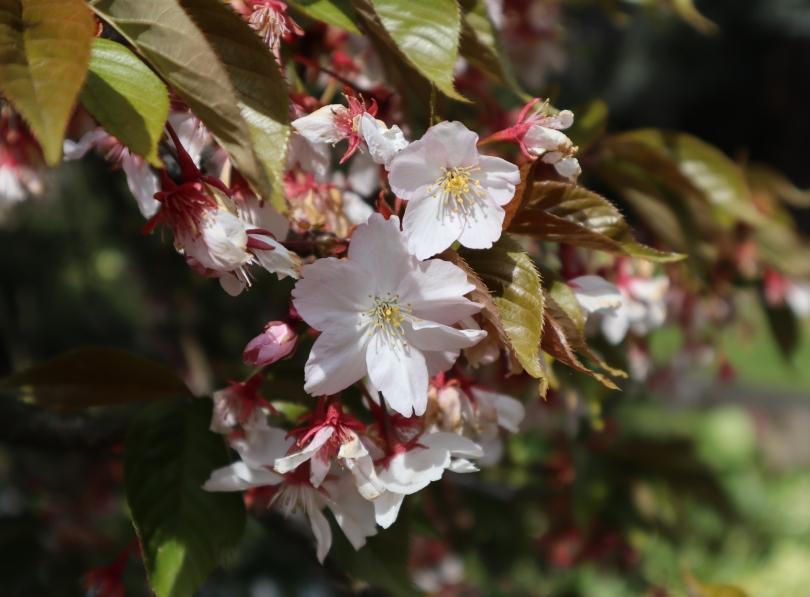 Osterley 12 cherry blossom