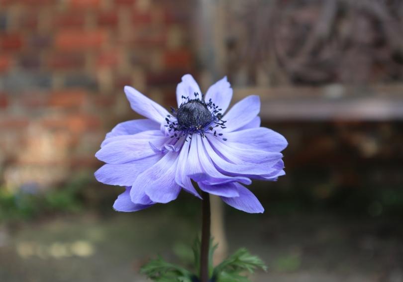 Osterley 3 anemones