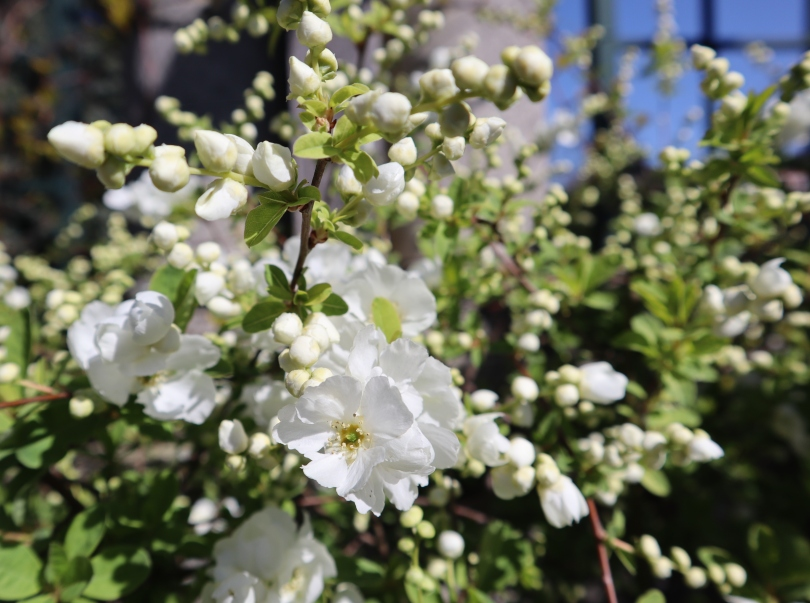 Pergola 11 white flower