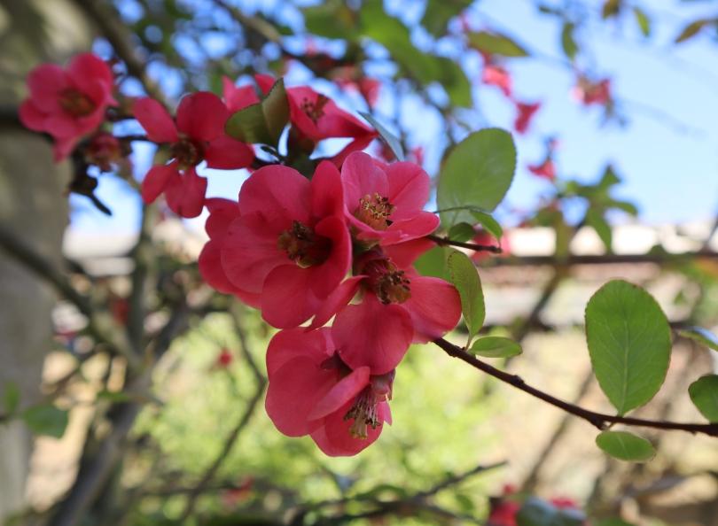 Pergola 3 pink blossom