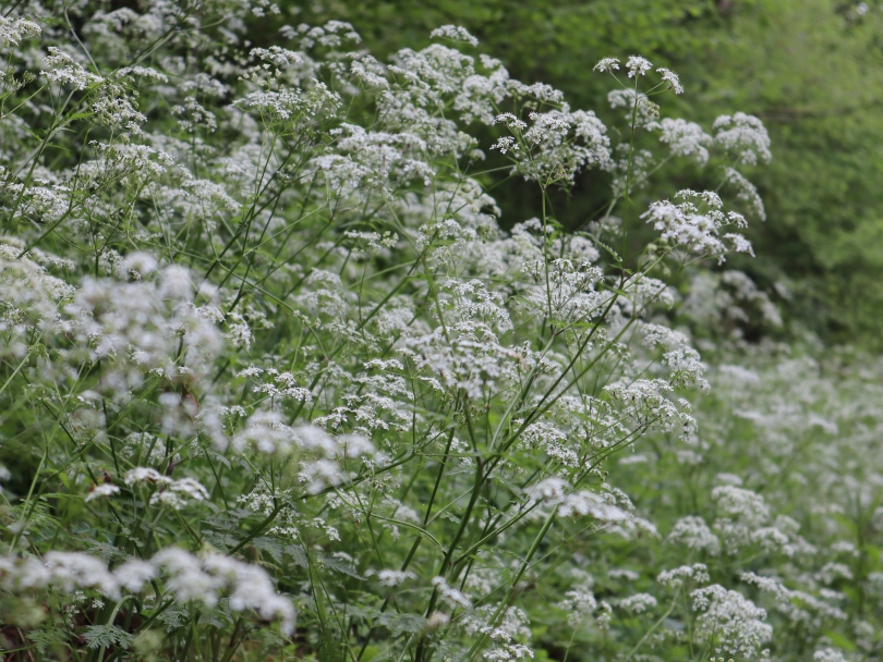 Why I Blog cow parsley 1 2628