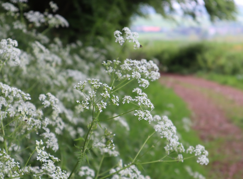Why I Blog cow parsley 2 2658