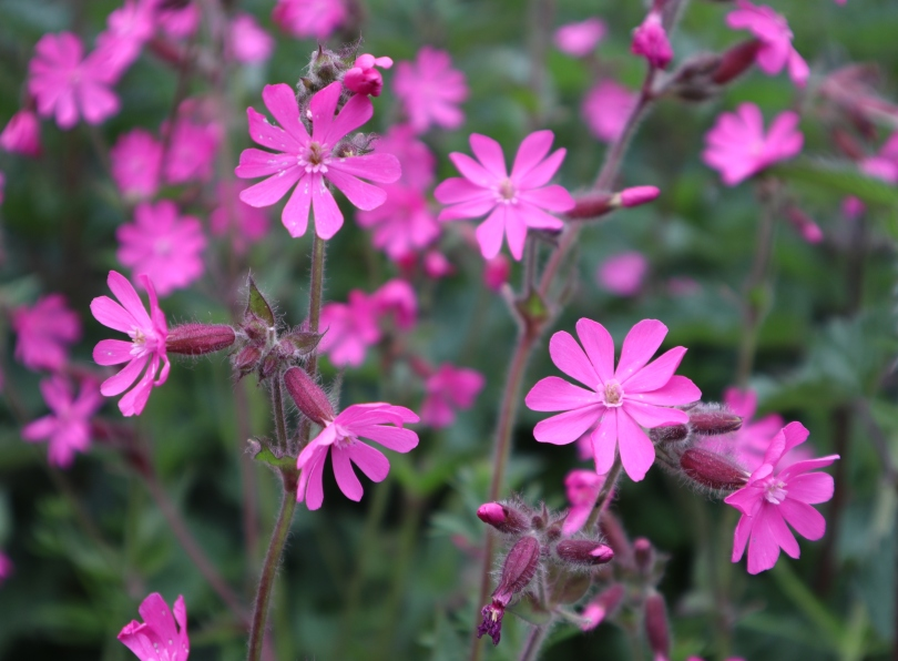 Why I Blog red campion 2642